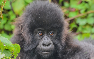 φωτ.: gorillafund.org